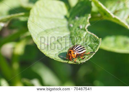 Ten-lined Potato Beetle Eats Potatoes