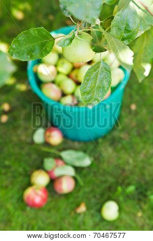 Bucket With Apples And Harvesting In Fruit Orchard