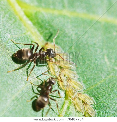 Two Ants Grazing Aphids Group On Leaf