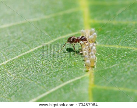 Ant Sips Honeydew From Aphids Group