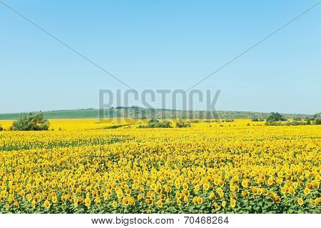 Yelow Sunflower Plantation In Hill Of The Caucasus