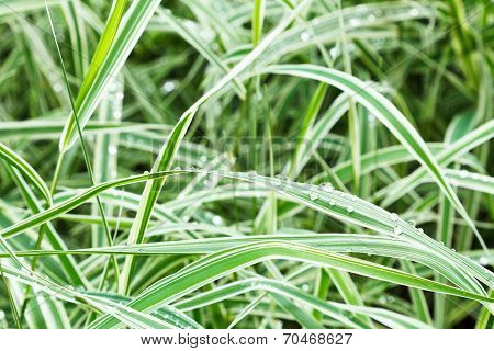 Wet Green Blades Of Carex Morrowii Japonica