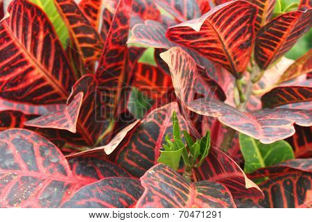 Large red leafs in the garden