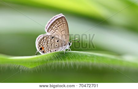Tawny Of Butterfly On Green Leaves.