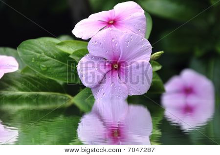 Periwinkle (vinca) With Drops Of Dew In Water.