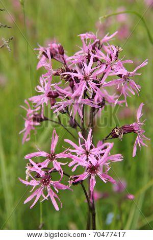 Pink Lychnis Flos-cuculi, Wildflower
