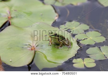 Frog and Water Lily leaf