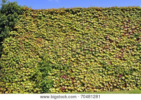 Boston ivy Latin name Parthenocissus tricuspidata Veitchii