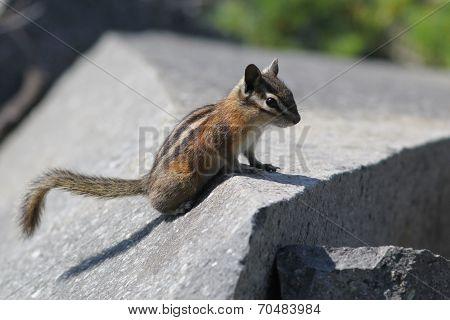 Yellow-Pine Chipmunk on a Rock