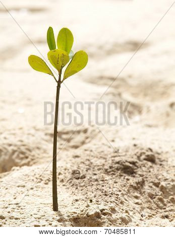 Young mangrove tree in natural sand beach