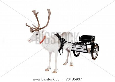Reindeer or caribou wearing europian harness