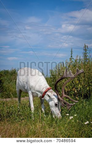 Female reindeer or caribou outdoors