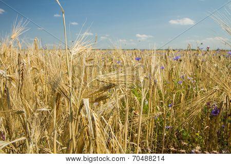 Grains Before Harvest