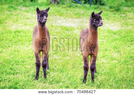 llama babies grazing in meadow