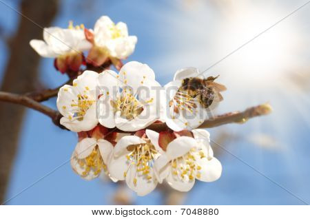 Bee On An Apricot Bloom