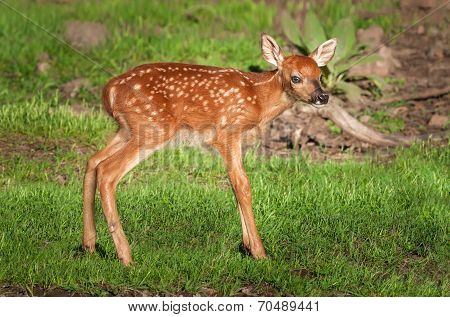 White-tailed Deer Fawn (odocoileus Virginianus) Stands