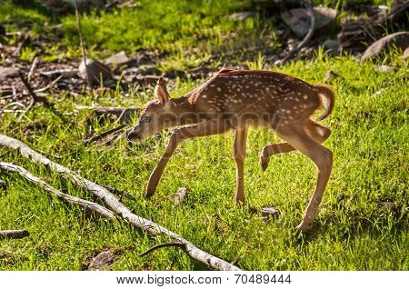 White-tailed Deer Fawn (odocoileus Virginianus) Steps Carefully