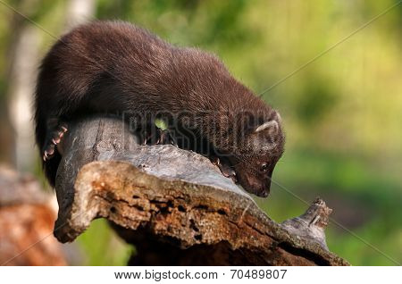 Young Fisher (martes Pennanti) Climbs Down Log