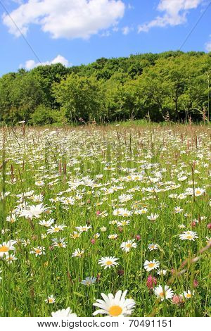 Marguerite Meadow And Wood, Against Blue Sky
