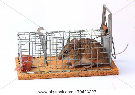 Captured Mouse In A Mousetrap