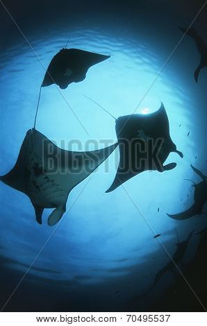 Raja Ampat, Indonesia, Pacific Ocean, silhouettes of manta rays (Manta birostris), low angle view
