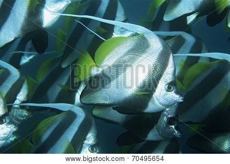 Mozambique, Indian Ocean, school of coachman fish (Heniochus acuminatus), close-up
