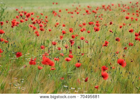Grainfield With Red Poppies