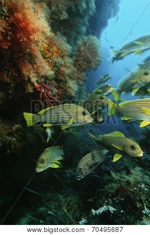 Raja Ampat, Indonesia, Pacific Ocean, school of oriental sweetlips (Plectorhinchus orientalis) congregating in cave below coral reef