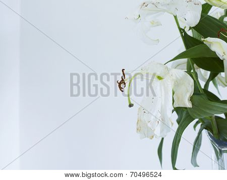 Close up of wilting white lilies in vase