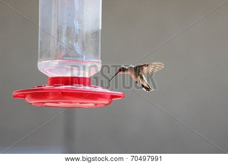 Anna's hummingbird at feeder
