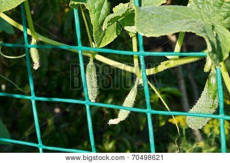 Vines Of Cucumbers In Garden