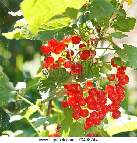 Red Currant Berries On Green Bush