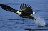 picture of fish-eagle  - Bald Eagle catching fish in river - JPG