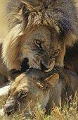picture of love bite  - Male Lion biting Lioness on savannah - JPG
