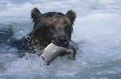 pic of grizzly bear  - Grizzly bear swimming with fish in mouth - JPG