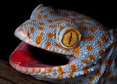 image of tokay gecko  - A tokay gecko is opening his mouth in a threatening gesture - JPG