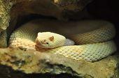stock photo of albinos  - Albino adult Crotalus scutulatus Northern Mohave Rattlesnake white snake - JPG