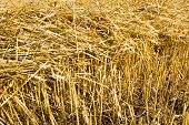 stock photo of roughage  - Closeup of golden yellow dry straw stalks on the stubble field after harvesting the wheat - JPG