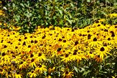 stock photo of black-eyed susans  - A field of brown - JPG