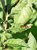 pic of potato bug  - colorado beetle larva in potato leaves in garden - JPG
