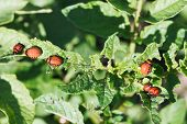 picture of larva  - many larva of colorado potato beetle eat potatoes in garden close up