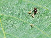 stock photo of aphid  - ant pastures few aphids on leaf of walnut tree close up