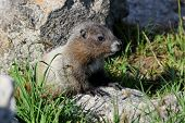 stock photo of marmot  - A Juvenile Hoary Marmot at Mount Rainier National Park - JPG
