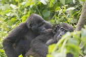 stock photo of gorilla  - Mountain Gorilla Grooming another Gorilla in Bwindi Impenetrable Forest - JPG