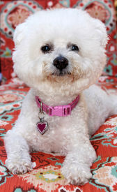 image of bichon frise dog  - A pure breed Bichon Frise dog smiles as she sits for her portrait - JPG