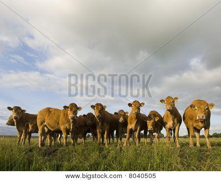 holländische Kühe auf einer Wiese