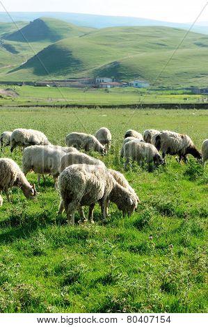 Sheep eat grass