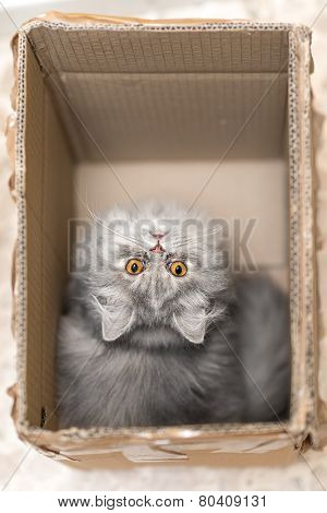 Persian cat in the box