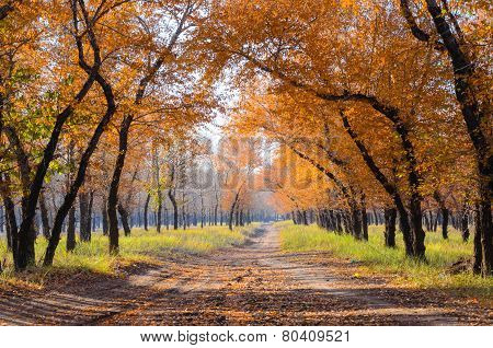 Diversifolious Poplars Line Both Side Of The Road In Autumn