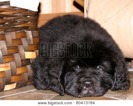 Newfoundland Puppy Close